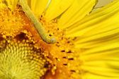 Caterpilla on sunflower pollen — Stock Photo