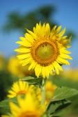 Sunflower in field — Stock Photo