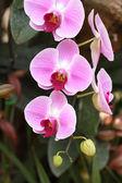 Phalaenopsis orchid — Stock Photo