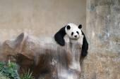 Panda bear resting — ストック写真