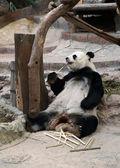 Panda bear jíst bambus — Stock fotografie