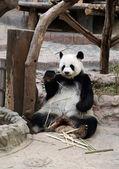 Panda bear eating bamboo — Zdjęcie stockowe