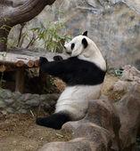 Panda bear resting — Zdjęcie stockowe