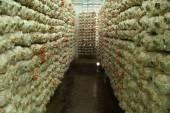 Pink oyster mushroom (Pleurotus djamor) on spawn bags — Stock Photo