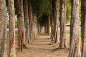 Gravel path between pine trees — Stock Photo