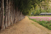 Path between pine trees and cosmos flower field — Stock Photo