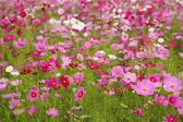 Cosmos flower in the field — Stock Photo