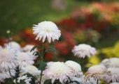 Цветы красивые хризантемы в саду — Стоковое фото