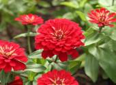 Red zinnia flower  — Stock Photo