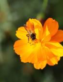 Květ oranžový kosmu s včela — Stock fotografie
