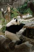 Panda bear resting — Stock Photo