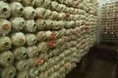 Spawn torbalar üzerindeki pembe istiridye mantar (kavak djamor — Stok fotoğraf