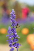 Lavendel bloem met bee — Stockfoto
