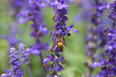 Flor de lavanda com abelha — Fotografia Stock