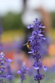 Lavender flower with bee  — Stock Photo
