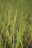 Rice spike in the paddy field — Stock Photo
