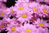Chrysanthemum flower blooming in the garden — Stock Photo