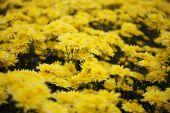Chrysanthemum flower blooming in the garden — Zdjęcie stockowe