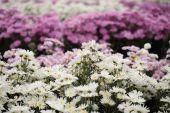 Beautiful Chrysanthemum flower blooming — Stock Photo