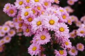 Bela flor crisântemo florescendo — Fotografia Stock