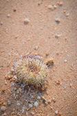 Urchin macro photography, Close up at beach backround — Stock Photo