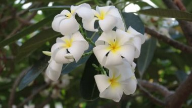 Hawaiian Plumeria flowers on Tree — Stock Video