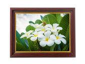 Brown wooden frame with A bouquet of plumeria ( frangipani ) flo — Stock Photo