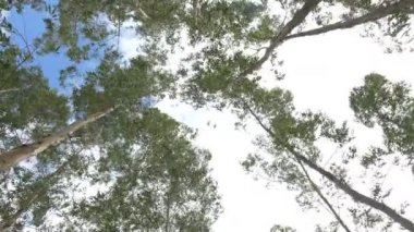 Eucalyptus leaf green tree against sky very high with sun light and environment background forest — Stock Video