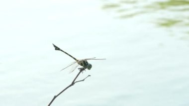 The beautiful dragonfly insect resting on green grass in lake on summer day — Stock Video