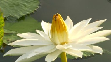 Bee in lotus and Bee group working find pollen on lotus in the day at the morning, Bangkok Thailand — Stock Video