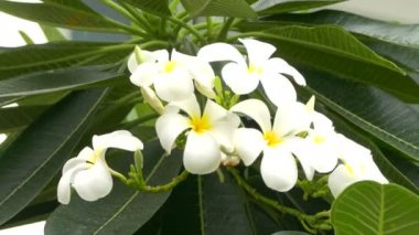 A bouquet of plumeria ( frangipani ) flowers on trees that specific flowers — Stock Video