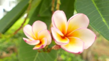 A bouquet of plumeria ( frangipani ) flowers on trees that specific flowers:Ultra HD 4K High quality footage size 3840x2160 — Stock Video