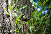 Woodpecker Picus canus peeking out of hollow — Stock Photo