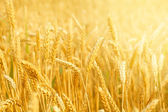 Field with wheat stems — Stock Photo