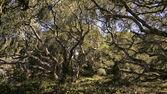 California Oak Trees — Stock Photo