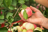 Picking a ripe apples in the garden — Stock Photo