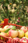 Ripe harvested apples in plastic crate on trees background — Stock Photo
