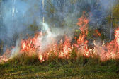 Fire in the birch forest — Stock Photo
