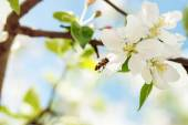 The bee flies to Apple blossoms to collect pollen — Stock Photo