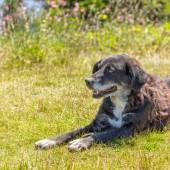 Dog lying on grass — Stock Photo
