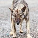 Furious dog — Stock Photo #53077997