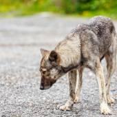 Cane furioso — Foto Stock