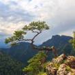 Pine, most famous tree in Pieniny Mountains, Poland  — Stock Photo #59762937