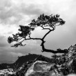 Pine, most famous tree in Pieniny Mountains, Poland, black and white photo — Stock Photo #60030867
