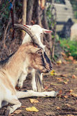 Goat and kid — Stock Photo