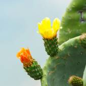 Bright yellow and orange flower of Prickly Pear (Chollas) cactus — Stock Photo