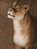 African lion portrait — Stock Photo