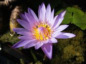 Beautiful lotus flower blooming — Stock fotografie