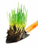 Green wheat grass with roots in the shovel — Stock Photo