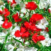 Red and white carnation flowers on the garden — Foto Stock